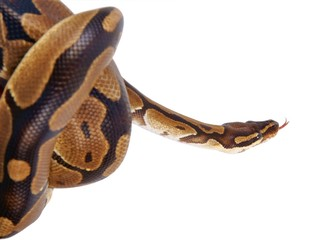 Python regius with tongue sticking out, on white background