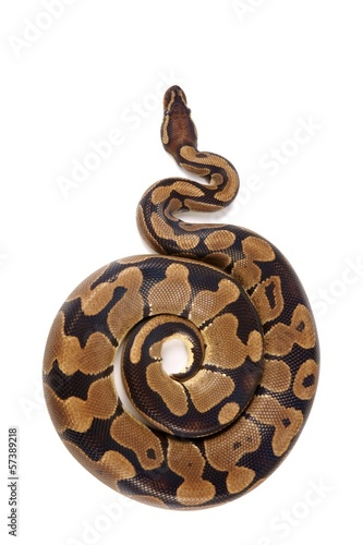 Python regius on white background