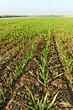 Growing wheat.