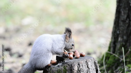 Squirrel eats nuts on a stump