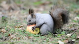 Squirrel eating an apple, picks it up and takes away
