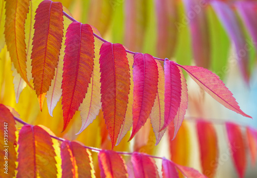 Staghorn sumac, Rhus typhina in vibrant colours.