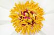 Постер, плакат: Пион Paeonia iactiflora