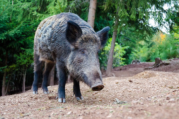 wild boar in the hunting