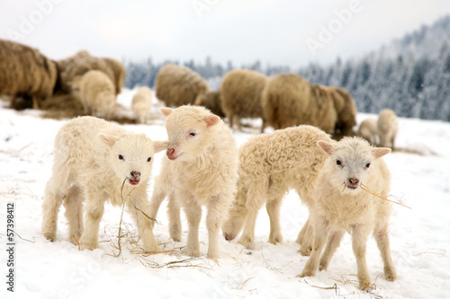 Papiers peints Sheep sheep skudde with lamb eating the hay