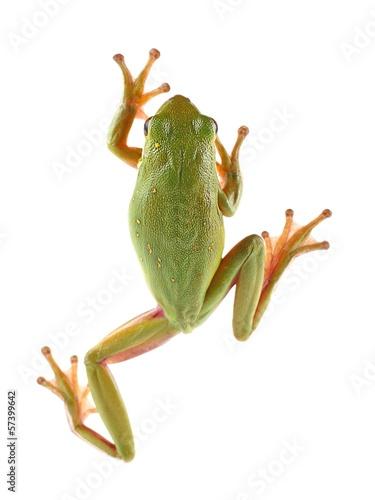 Fotobehang Kikker Tree frog (Litoria infrafrenata)