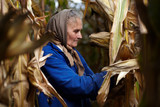 Old female farmer at corn harvest