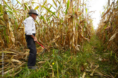 Farmer cutting the corn with the reaping hook