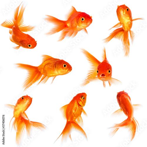 Goldfish - 57406076