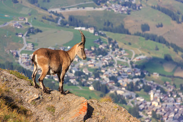Stambecco osserva paese si montagna