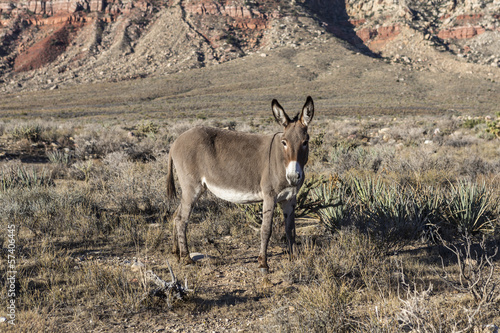 Red Rock Nevada Burro