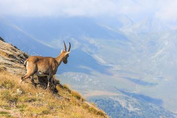 Stambecco osserva paesaggio in montagna