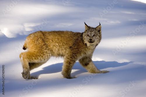 Deurstickers Lynx Canadian lynx, Lynx canadensis