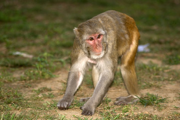 Rhesus macaque, Sariska Game Reserve, Rajasthan, India