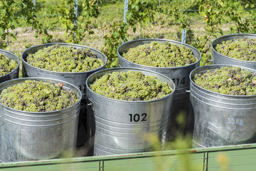 Containers Full Of White Grapes On The Trailer