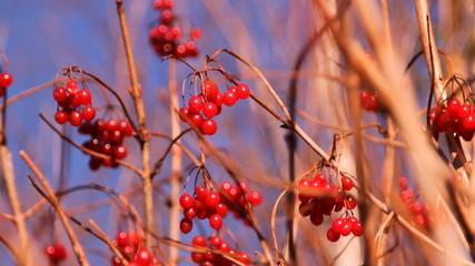 красные ягоды калина, осень