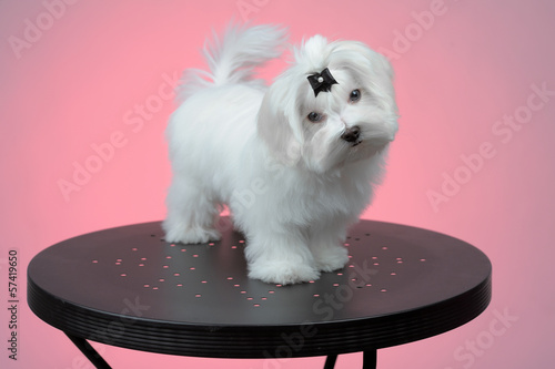 Maltesse puppy standing on steel table
