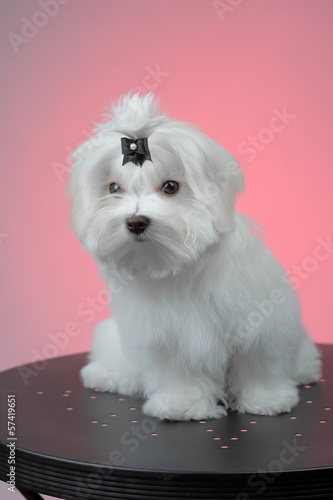 Maltesse puppy sitting on steel table
