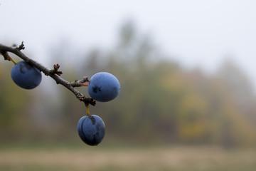 Berries in fog