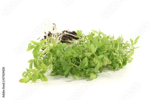 frische grüne Gartenkresse