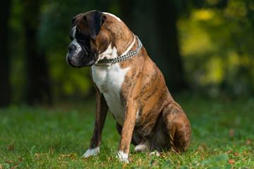 Titan A Male Boxer Dog