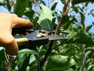 taille de branche au sécateur