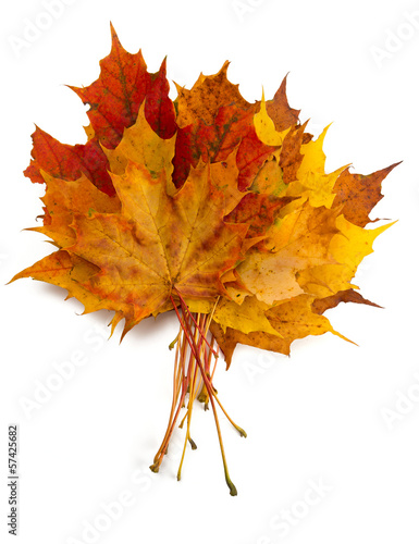 bunch of maple leafs on white background