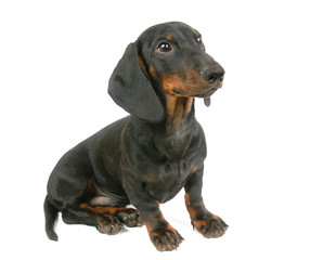 Dachshund puppy, 4 months old,  is sitting