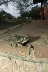 Cane toad, Bufo marinus