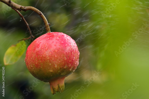Ripe pomegranate on the branch of a tree.