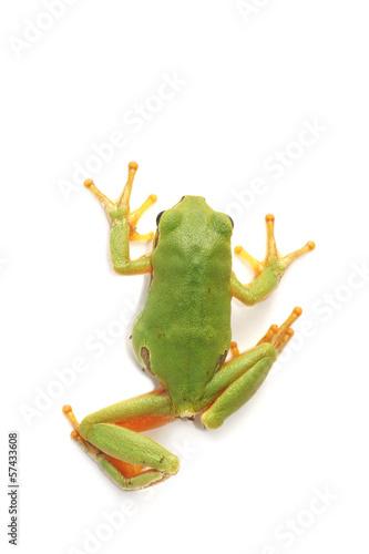 Foto op Canvas Kikker Tree frog (Hyla arborea)