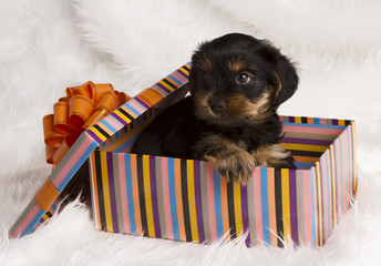 puppy Yorkshire terrier in a gift box