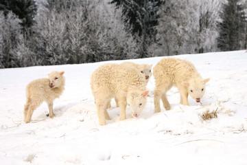 lamb eating the hay