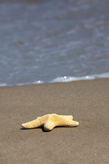 Seestern - Asterias rubens - am Sandstrand