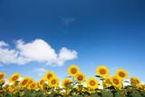 青空とヒマワリ畑