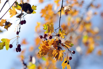 Autumnal background: thornapple berries and leaves