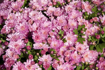 Wet pink chrysanthemums