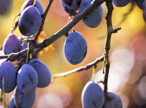 Ripe plums hanging from a tree