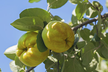 Ripe quince fruits on a tree branch