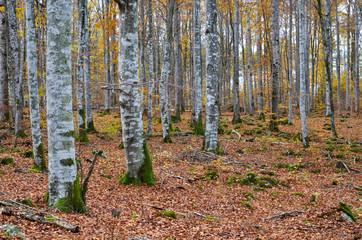 Beech forest view