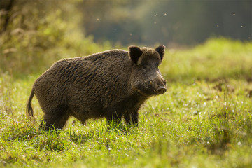Wild boar, backlit, foraging for apples