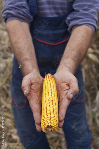 Farmer showing ripe corn maize ear before harvest