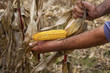 Hands showing beautiful corn maize ear at harvest time
