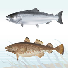 Salmon and cod. Vector illustration.