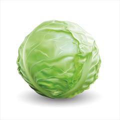 Cabbage. Vector illustration.