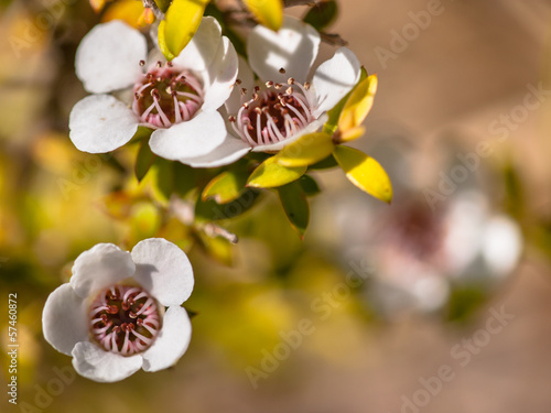 Detail of manuka flower
