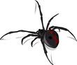 Leinwanddruck Bild - Black Widow Vector 2