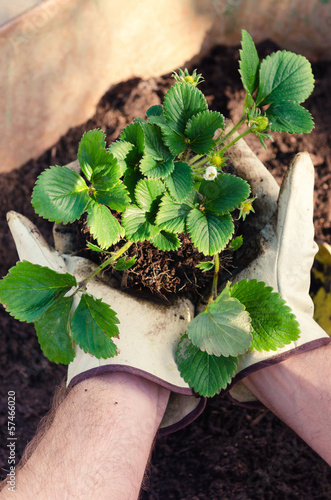 Man hands holding a strawberry plant, farmer garderner