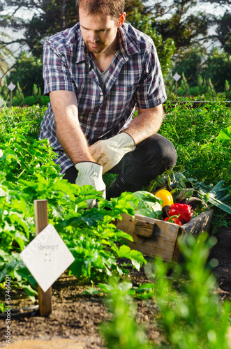 Farmer harvesting beetroot in the vegetable patch garden