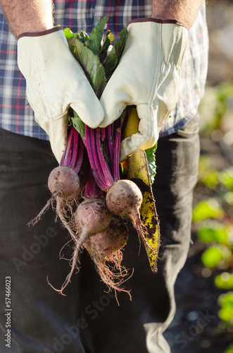 Hands holding beetroots in garden